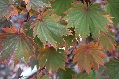 Acer japonicum 'Meigetsu' Foliage