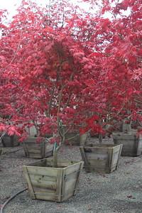 Acer japonicum 'Aconitifolium', Specimen 2 5'' #30 Box (3)