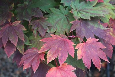 Acer japonicum 'Itaya' Fall Foliage