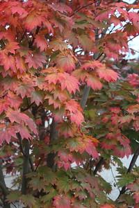 Acer japonicum 'Itaya', Specimen Fall Foliage (2)