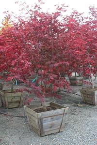 Acer japonicum 'Aconitifolium', Specimen 2 5'' #30 Box (2)