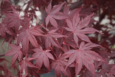 Acer palmatum 'Bloodgood' Foliage