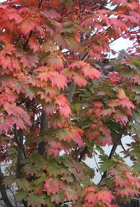 Acer japonicum 'Itaya', Specimen Fall Foliage