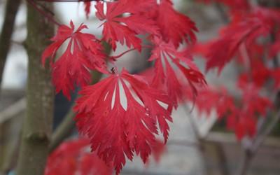 Acer japonicum 'Aconitifolium' Fall Foliage