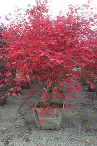 Acer japonicum 'Aconitifolium', Specimen 2 5'' #30 Box