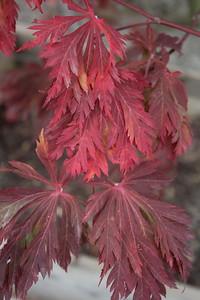 Acer japonicum 'Aconitifolium' Foliage