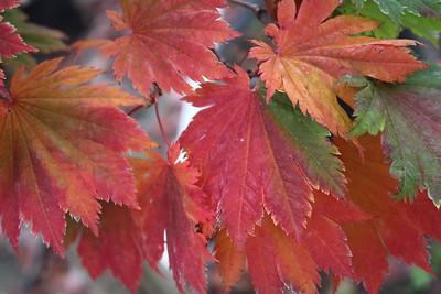 Acer japonicum 'Meigetsu' Fall Foliage'