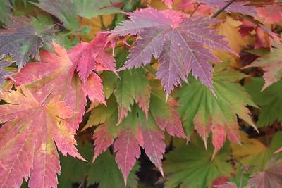 Acer japonicum 'Meigetsu' Fall Foliage