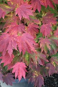 Acer japonicum 'Meigetsu' Fall Foliage (2)