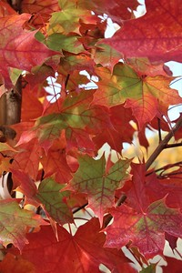 Acer t  'Pacific Sunset' Fall Foliage