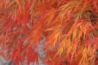Acer pd  'Viridis' Fall Foliage (2)