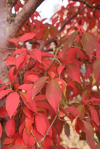 Stewartia monadelpha Fall Foliage