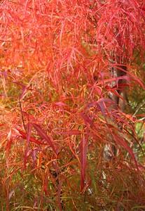 Japanese Maple Fall Foliage