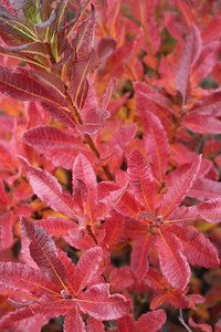 Azalea dec  'Lights Lilac' Fall Foliage (2)