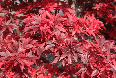 Japanese Maple Fall Foliage (2)