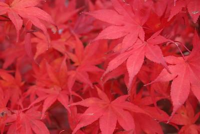 Acer palmatum 'Oshio beni' Fall Foliage