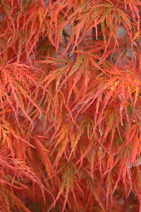 Acer pd  'Viridis' Fall Foliage (3)