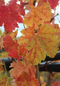 Grape Leaves Fall Color