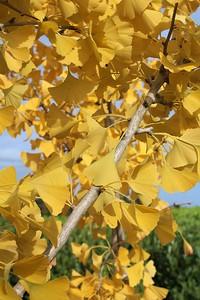 Ginkgo biloba Fall Foliage