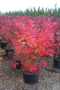 Cotinus c  'Royal Purple' #10 (2)