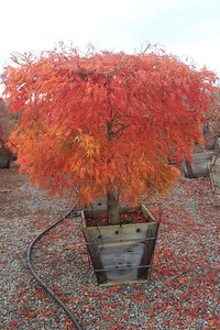 Acer pd  'Viridis' 2X Specimen 5 ft #24 Box (2)