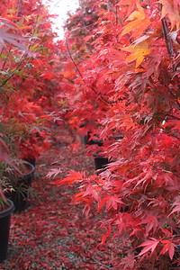 Acer palmatum 'Oshio beni' 1 5 in #20