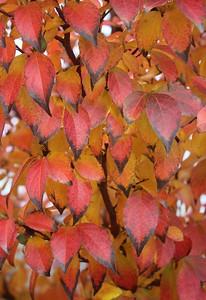 Stewartia monadelpha Fall Foliage (2)