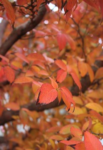 Stewartia monadelpha Fall Foliage and Branching (2)