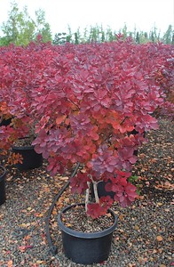 Cotinus c  'Royal Purple' #10