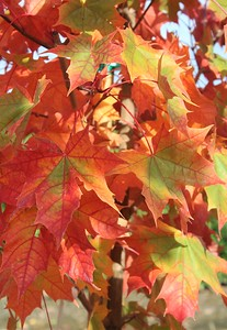 Acer t  'Pacific Sunset' Fall Foliage (3)