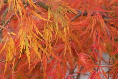 Acer pd  'Viridis' Fall Foliage