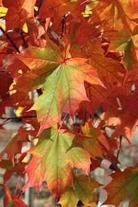 Acer t  'Pacific Sunset' Fall Foliage (2)