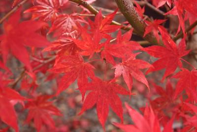 Acer palmatum 'Oshio beni' Fall Foliage (2)
