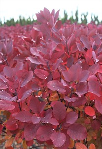 Cotinus c  'Royal Purple' Fall Foliage