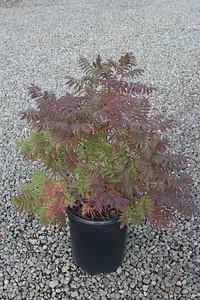 Sorbaria sorbifolia #5