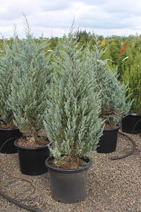 Juniperus v  'Blue Arrow' (field grown) 3-4 ft #15 (2)