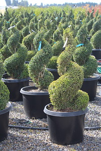 Buxus sempervirens, Spiral (field grown) 36-42 in #20