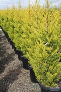 Cupressus macrocarpa 'Donard Gold' #15 Mass