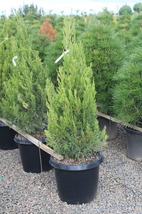 Juniperus chin  'Spartan' #15 Group