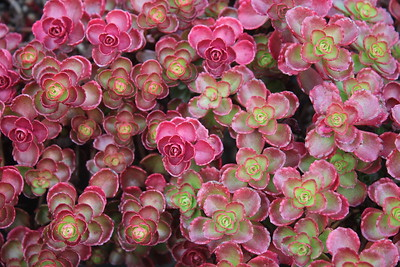 Sedum spu  'Dragon's Blood' Foliage