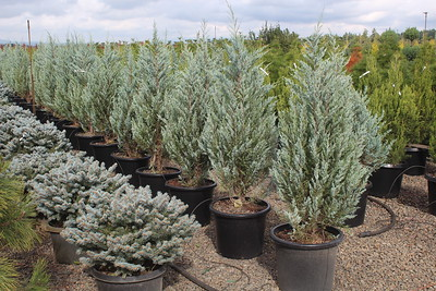 Juniperus v  'Blue Arrow' (field grown) 3-4 ft #15