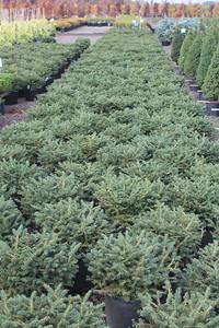 Picea abies 'Nidiformis' #6 Mass