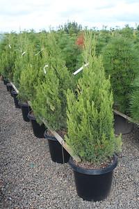 Juniperus chin  'Spartan' #15