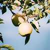 10 6 18 Peabody apple picking at Brooksby Farm 4