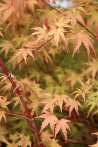 Acer palmatum 'Nishiki gawa' Foliage