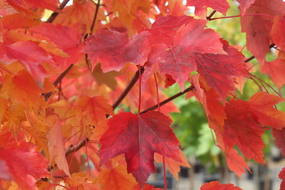 Acer r  'October Glory' Fall Foliage