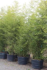 Bamboo, Phyllostachys nigra, Specimen #45
