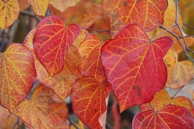 Cercis canadensis Fall Foliage