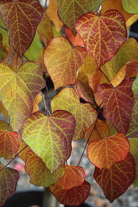 Cercis can  'Ruby Falls' Fall Foliage