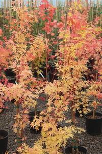 Acer palmatum 'Sango kaku' #2